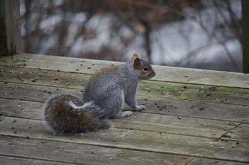 Squirrel sitting on wood deck