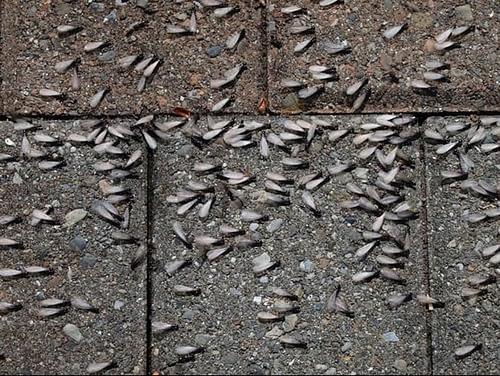 Termites on pavement
